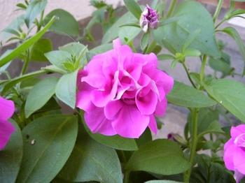 ベランダの花.jpg